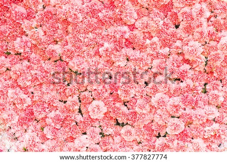 Beautiful carnation flower,Pink flower background of carnation flower - stock photo