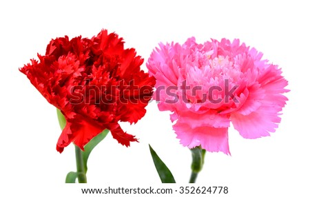 Beautiful carnation flowers isolated on white background