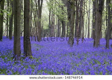 Beautiful carpet of bluebell flowers in Spring forest landscape - stock photo