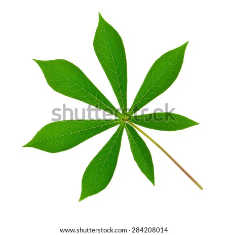 Beautiful Cassava leaf on white background.