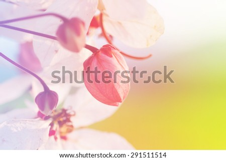 Beautiful Cassia javanica blossom flower,defocused abstract background - stock photo