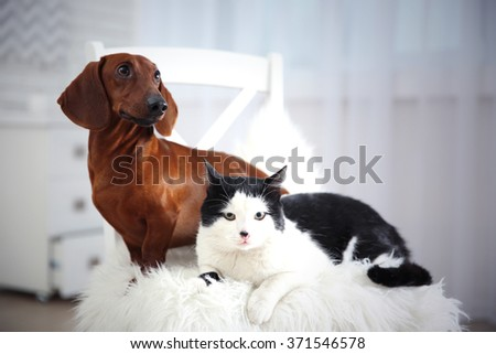 Beautiful cat and dachshund dog on chair, indoor - stock photo