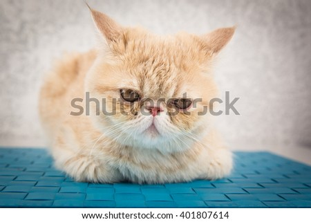 beautiful cat breed Exotic sitting and posing for a photograph