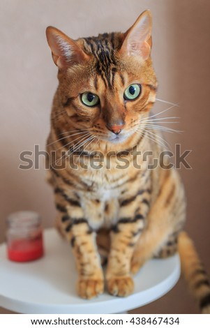 Beautiful cat close-up. Bengal breed - stock photo