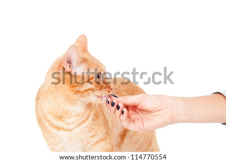 beautiful cat eats feed from the hands of - stock photo