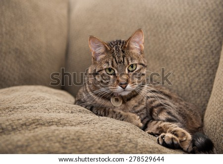 Beautiful cat lies on the couch, nestled between the back cushion and a matching pillow - stock photo