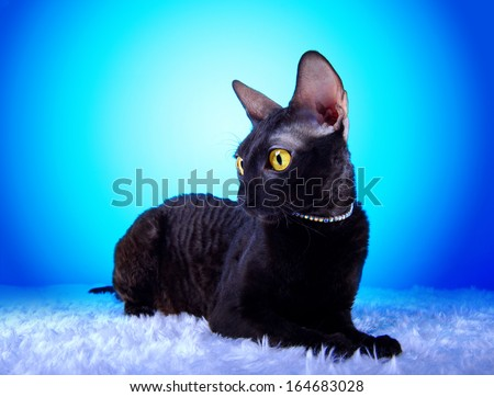 Beautiful cat lying on a blue background