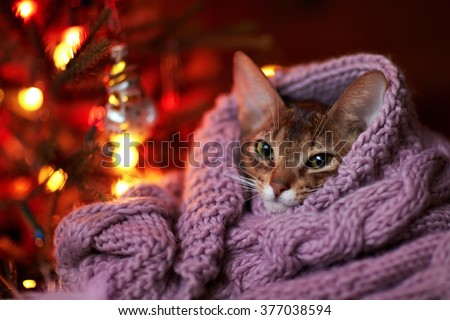 Beautiful cat near a Christmas tree. Kitten looking at a garland with lights. He knitted scarf.