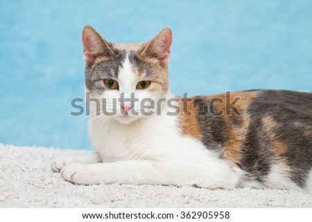 Beautiful cat on a blue background