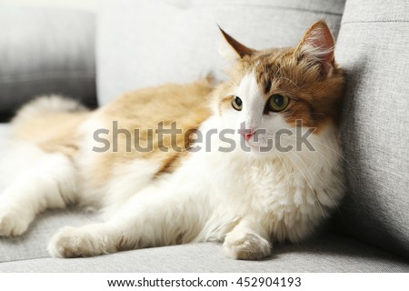 Beautiful cat on a grey sofa, close up