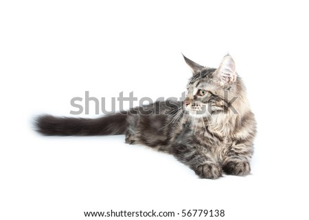 Beautiful cat on white background. It is isolated.