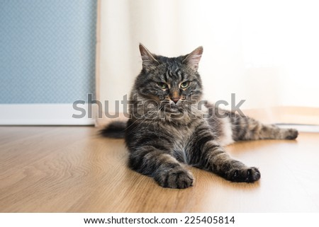 Beautiful cat relaxing and lying on parquet next to a window. - stock photo