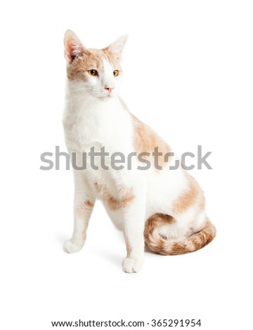 Beautiful cat sitting up and looking to the side - Isolated on white