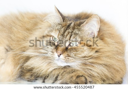 Beautiful cat, tabby kitten long haired