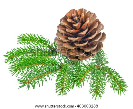 beautiful cedar pine cone and needles is isolated on white background, close up - stock photo