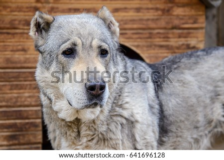 Beautiful Central Asian shepherd dog near his home closeup, Chinese zodiac, year of the dog