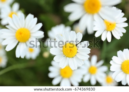 Beautiful chamomile flowers in field, closeup