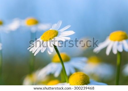 Beautiful chamomile flowers in nature photographed in summer at sunset. - stock photo