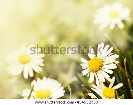 Beautiful chamomiles field at the sun, shallow depth of field. Nature background