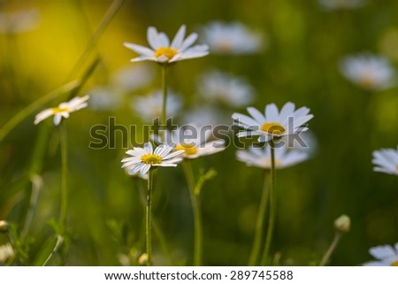 Beautiful chamomiles flowers growing and blooming in nature. Macro shoot.  - stock photo