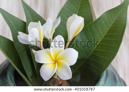 Beautiful charming fragrant white yellow flower plumeria or frangipani bunch with green leaf and copy sapce