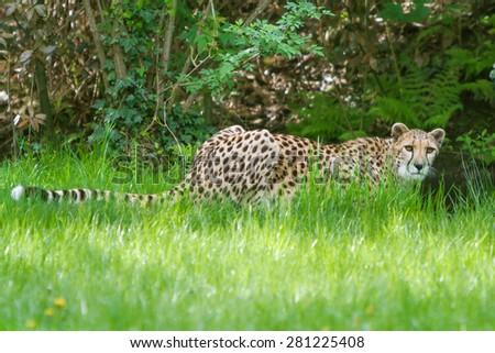 beautiful cheetah (Acinonyx jubatus) - stock photo