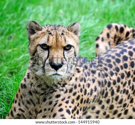 Beautiful cheetah on a green grass - stock photo