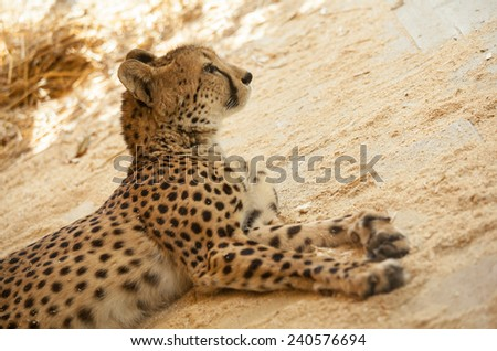 Beautiful cheetah resting on sand, closeup shot - stock photo