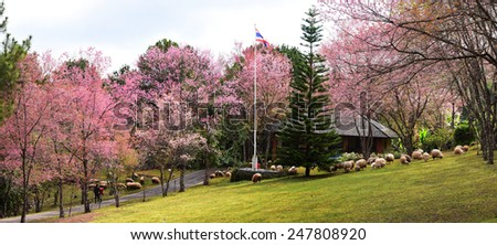 Beautiful Cherry Blossom in ChiangMai, Thailand