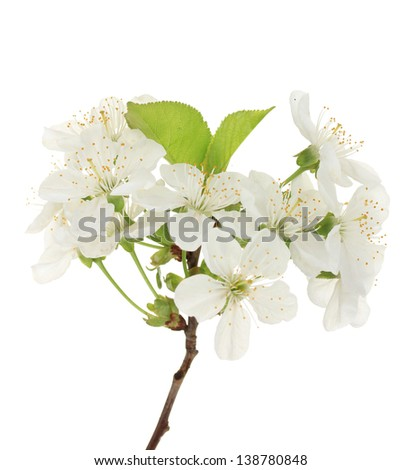 Beautiful cherry blossom isolated on white - stock photo