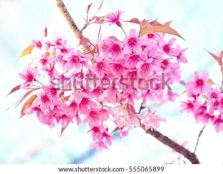 Beautiful cherry blossom pink sakura flower stock photo edit now beautiful cherry blossom pink sakura flower on nature background mightylinksfo