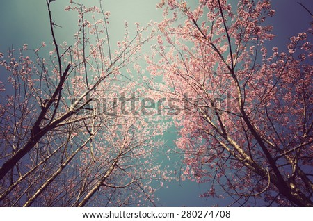 Beautiful Cherry blossom , Pink sakura flower with vintage tone. - stock photo