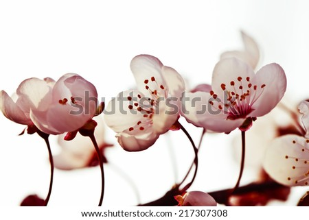 Beautiful cherry blossom (Sakura) flower at full bloom in - stock photo