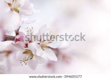 Beautiful cherry blossom (Sakura) flower at full bloom in