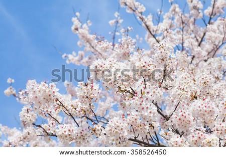 Beautiful cherry blossom sakura with nice blue sky - stock photo