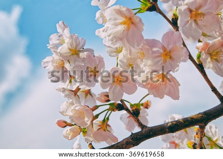 Beautiful cherry blossom sakura with nice blue sky - stock photo