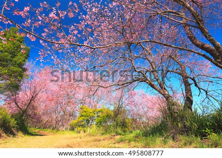 Beautiful cherry blossom tree garden at Doi Inthanon , Chiang Mai, Thailand