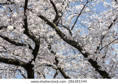Beautiful cherry blossom trees in Tokyo - stock photo