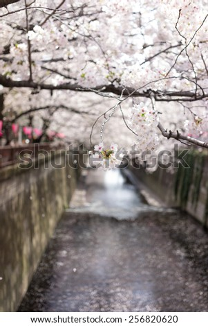 beautiful cherry blossom tunnel over river