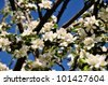 beautiful cherry blossoms against blue sky - stock photo