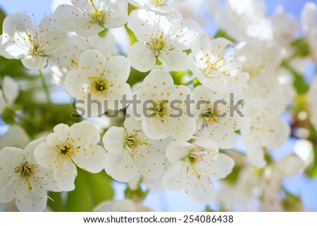 Beautiful cherry blossoms with green leaves  - stock photo