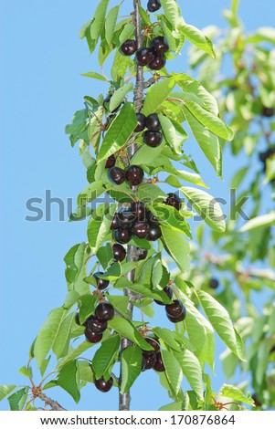 beautiful cherry fruits hanging on a branch at orchard - stock photo