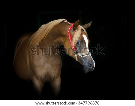 beautiful chestnut arabian filly portrait on black - stock photo