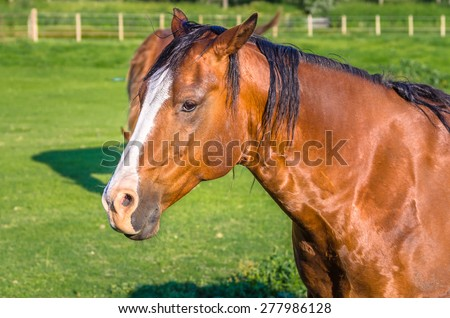 Beautiful Chestnut Brown Horse. Blurred Background. - stock photo