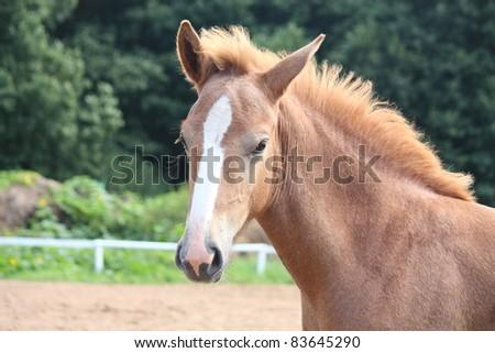 Beautiful chestnut foal portrait - stock photo
