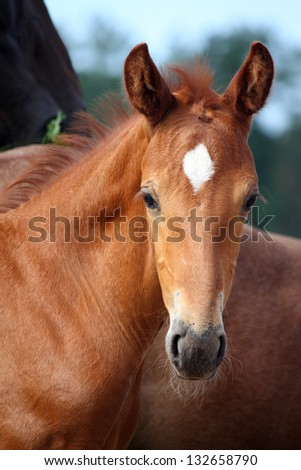 Beautiful chestnut foal portrait in summer in rural area - stock photo