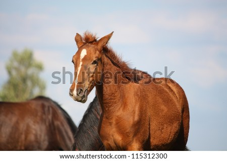 Beautiful chestnut foal portrait on sky background in summer