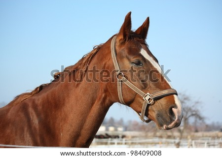 Beautiful chestnut horse portrait