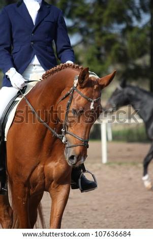 Beautiful chestnut horse portrait during dressage test - stock photo