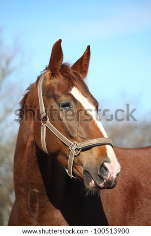 Beautiful chestnut latvian breed horse portrait